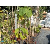 Arbol de Paulonia Tormentosa en Maceta de 40 Cm