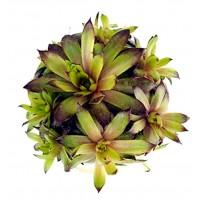Plantas Cactus Suculentas Sempervivum Aracnoi