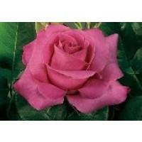 Rosa Caprice de Meilland Rd