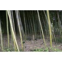 Cañas de Bambú