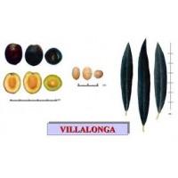 Olivo Villalonga en Maceta de 25 Cm