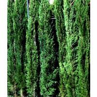Planta de Cipres Común. Cupressus Semperviren