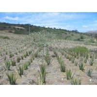 Plantas y Hojas de Aloe Vera