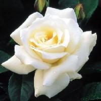 Rosa Pascali Rd