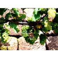 Semillas de Vid, Vitis Vinifera. 50 Gramos
