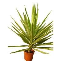 Kepaplant sl informaci n y productos para venta on line for Planta yuca exterior