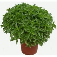 Albahaca Fino Verde. FIN Vert. 4 GR.