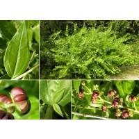 Coriaria Myrtifolia. Emborrachacabras. Altura:  40/60 Cms.  Edad: 2 Años. 3 Plantas.