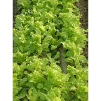 Lechuga Lollo Verde Baby Leaf. 50 Gr / 17.000