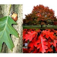 Planta de Roble Americano. Quercus Rubra. 30
