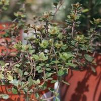 Planta de Tomillo Real en Maceta de 14 Cm