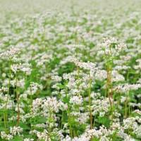 Trigo Sarraceno O Alforfón (Fagopyrum Esculentum) 25kg Semilla Ecológica para Siembra