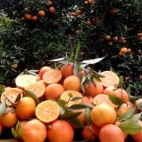 Mandarinas Claudellina. 14 Kg de Cultivo Ecológico.