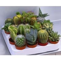 20 Cactus Mix