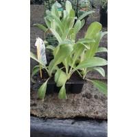Bandeja 6 Plantas Alcachofera