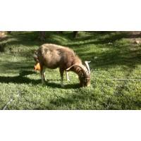 Cabras Lecheras de RAZA Toggenburg