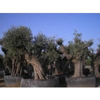 Olivos Centenarios de Decoración