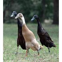 Patos Corredores Indios - Pareja