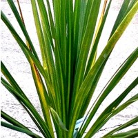 Planta Dracena. Cordyline Australis