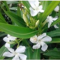 1 Planta de Adelfa Blanca. Nerium Oleander. A