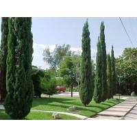 Cipres de Cementerio (Cupressus Sempervirens) 100 Semillas