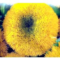Girasol Enano Amarillo Lleno. 3 Gr. de Semill