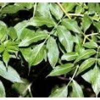 Planta de Fresno (Fraxinus Excelsior)
