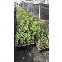 Portainjerto Cornicabra Pistacia Terebinthus. Planta Pistacho Certificada