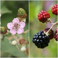 Semillas de Zarzamora, Rubus Ulmifolius. 10 G
