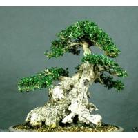 20 Semillas de Olivo Acebuche. Olea Europaea Olivo Silvestre.