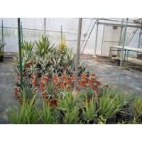 ALOE Arborescens en Maceta de 25 Cm