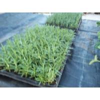 Bandeja 80 Plantas Tomillo Comun en Alveolo