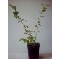 Planta de Arándano. Envase . Bluegold.