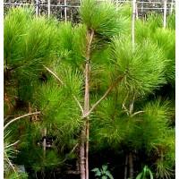 Planta de Pino Piñonero - Pinus Pinea. Altura