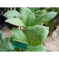Planta de Tabaco Rubio en Maceta de 14 Cm