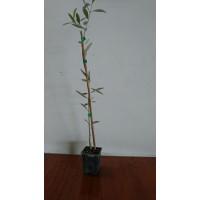 Planta Joven de Olivo