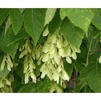 1 Planta de Arce Negundo. en Alveolo Forestal