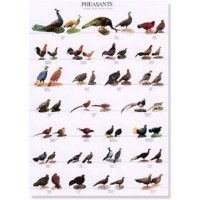 Poster Faisanes I