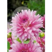 sobre Bulbo Dalia Decorativa Rosella-Rosa Purpura