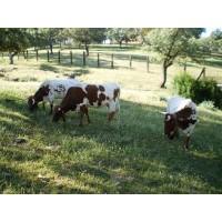 Vacas Berrendas