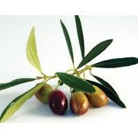 Planta de Olivo. Variedad Picual. Altura 80 -
