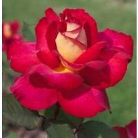 Rosa Bolchoi Rd