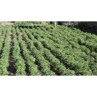 Stevia Ecologica