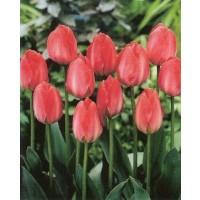 Tulipan  Van Eijk 10 Ud Bulbos