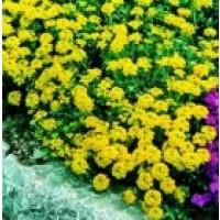 Aliso Amarillo Saxatile - Cestillo de Oro. 25