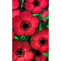 Lino de Grandes Flores, Rojo. 6 Gr. de Semill