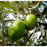 Planta Olivo Variedad Manzanilla. Olea Europa