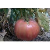 Planta de Tomate Rosa en Bandeja de 6 Unidades