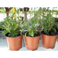 Planta Medicinal Estevia