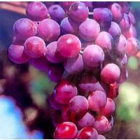 1 Planta de Frutal UVA de MESA Red Globe, Parra, Vitis. Altura 80 Cm.